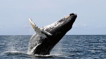Observation de Baleine à Bosse en République Dominicaine