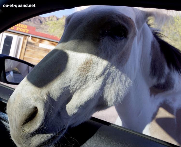 mule dans la voiture à oatman, arizona