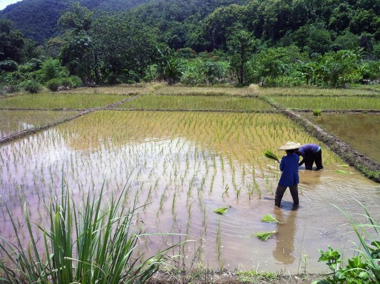 A la sortie de la jungle, nous tombons sur des rizières.