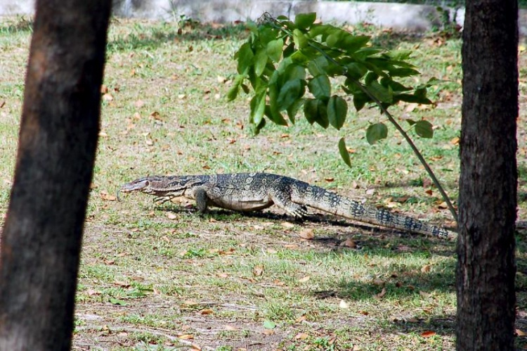 """""""Chéri, Je crois qu'il y a un lézard..."""" -- Un sacré gros Varan observé à Ayutthaya"""