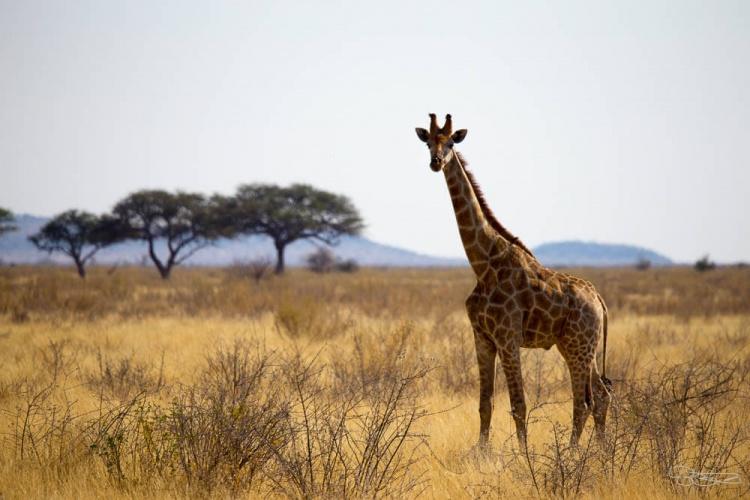 Girafe qui marche seule dans le parc de Etosha en Namibie pendant un safari (crédit photo)