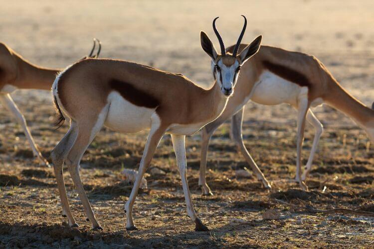 afrique-du-sud-Kgalagadi