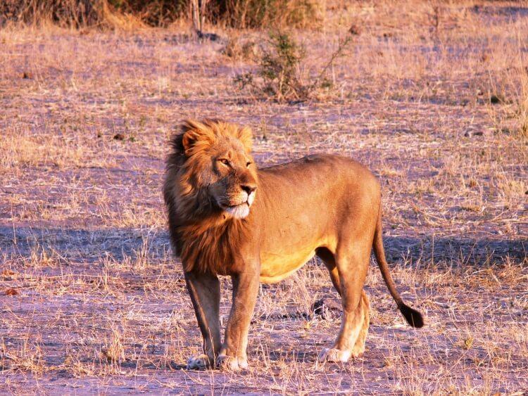 animaux-lion-kruger-afrique-du-sud