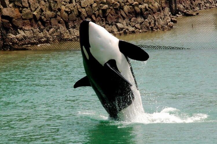 orque qui saute
