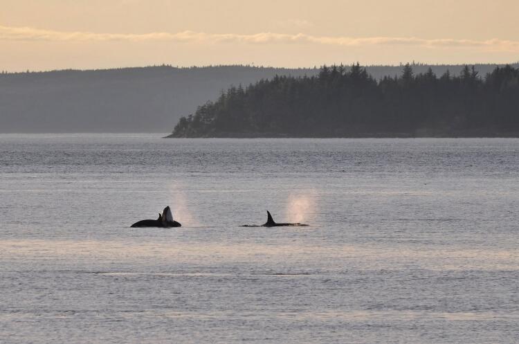 Partir voir des orques, cela se mérite. Et parfois, on les aperçoit que de loin. Mais c'est déjà formidable !