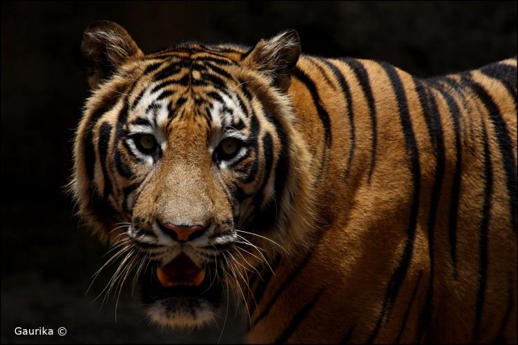 tigres du Bengale