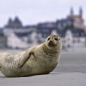 Harbor Seal in the beach near Le Hourdel.  Biosphoto / Philippe Thiery