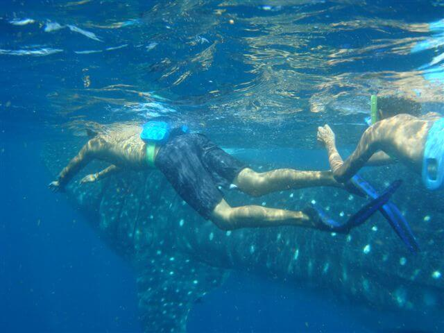 Snorkeling_whale_shark_1