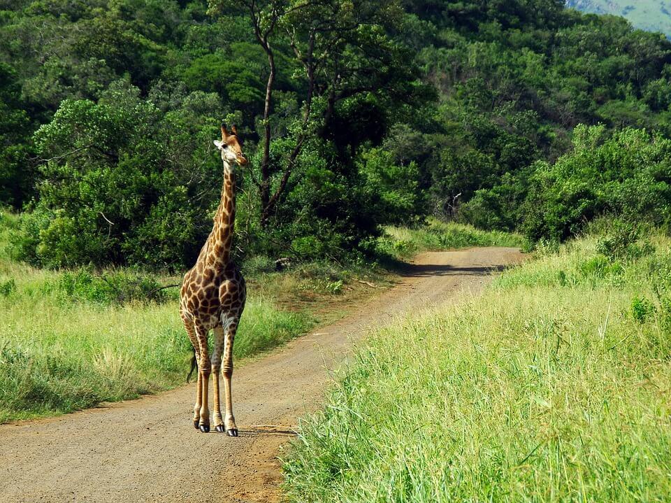 Faire un Safari en Afrique-du-Sud : tout ce vous devez savoir