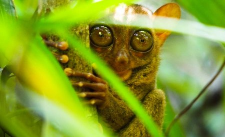 tarsier aux philippines
