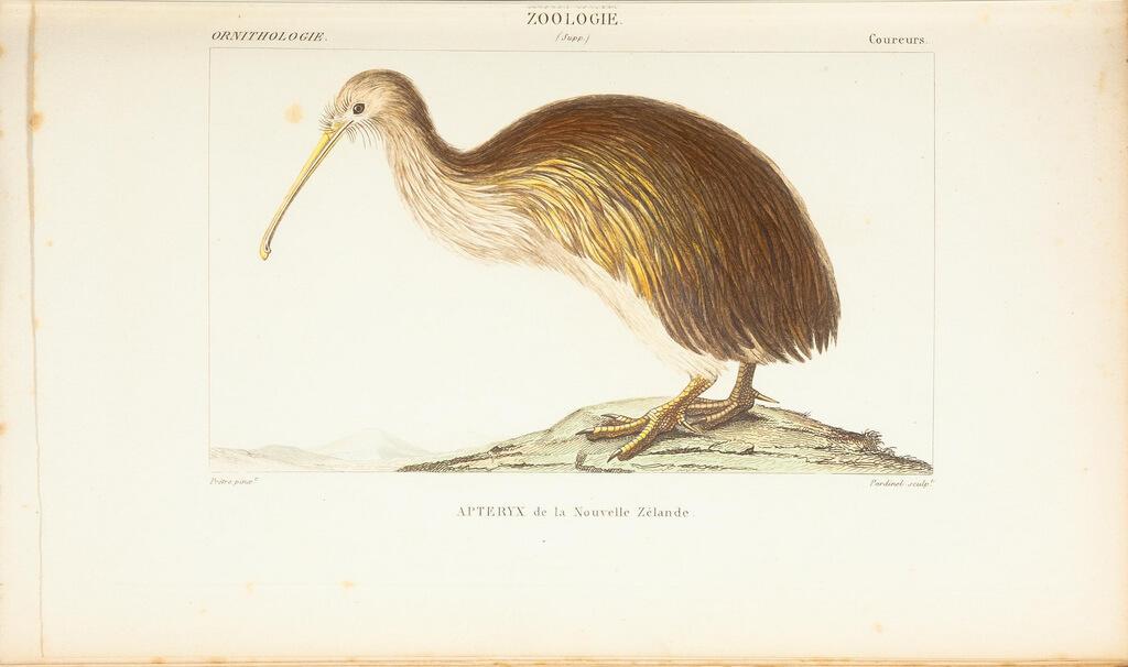 kiwi animaux nouvelle zelande
