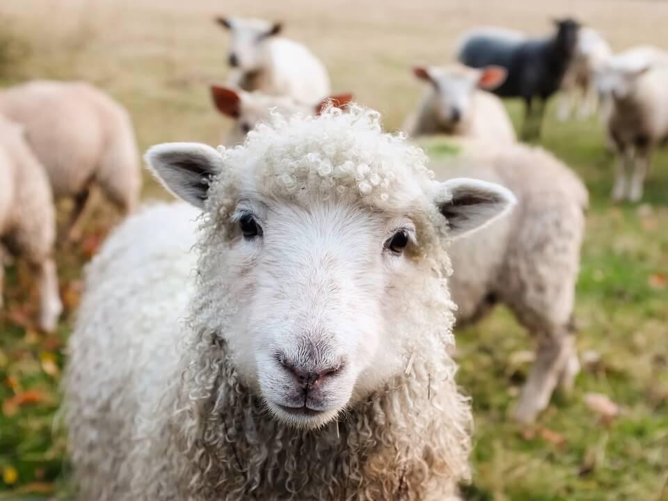 mouton animaux nouvelle zelande