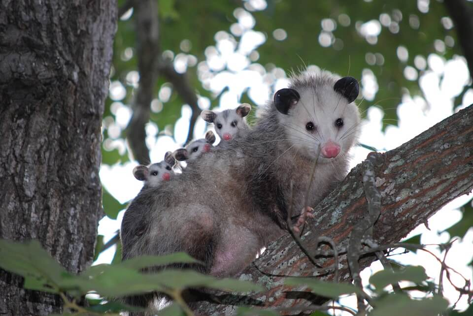 possum animaux nouvelle zelande
