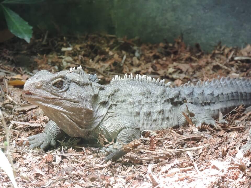 tuatara animaux nouvelle zelande