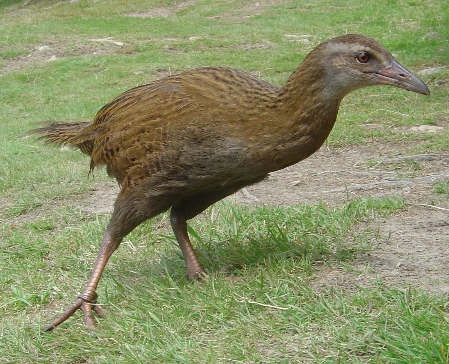 oiseau weka animaux nouvelle zelande
