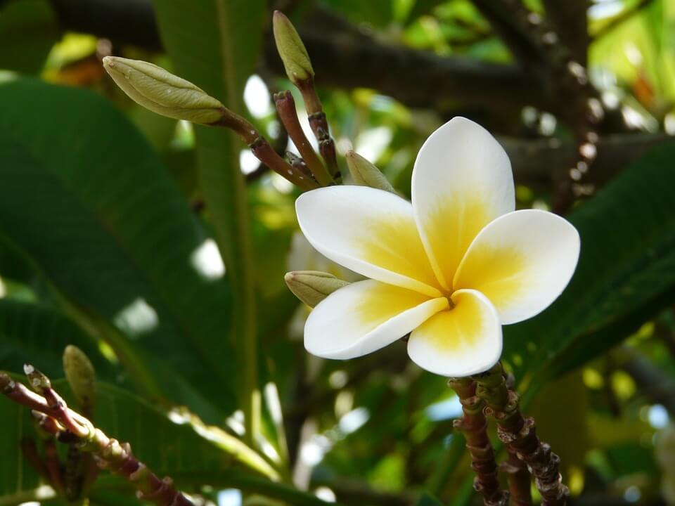 fleur de frangipanier tropical