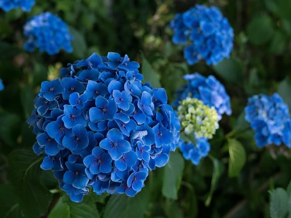 hortensia bleue fleurie au japon saison des pluies