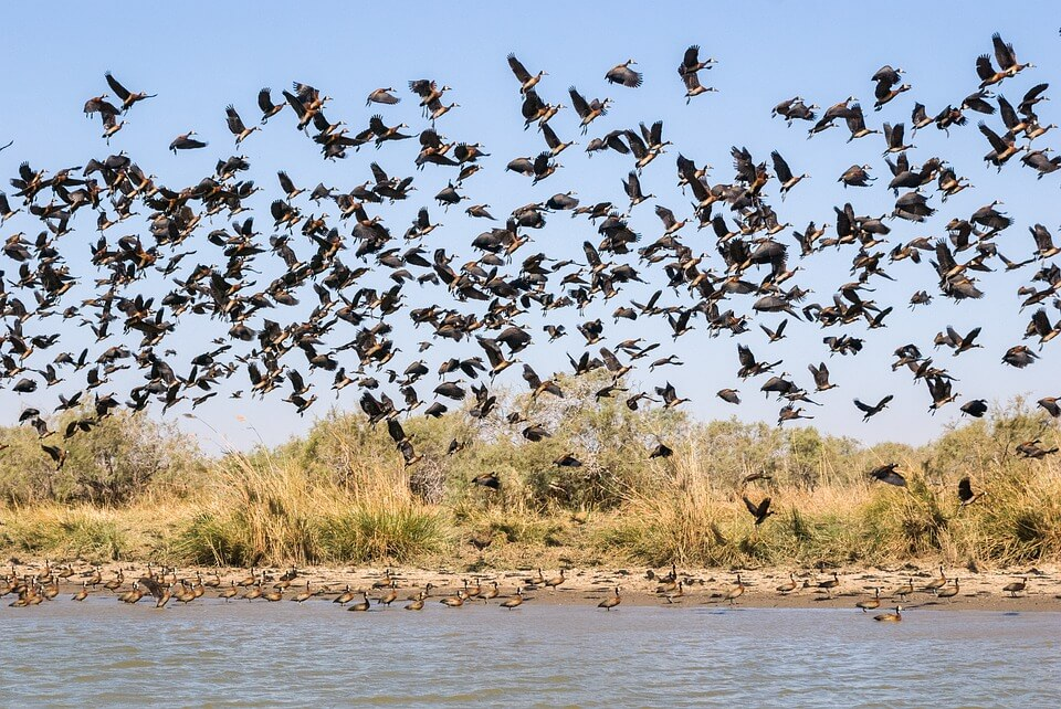 oiseaux nombreux saison des pluies au Sénégal