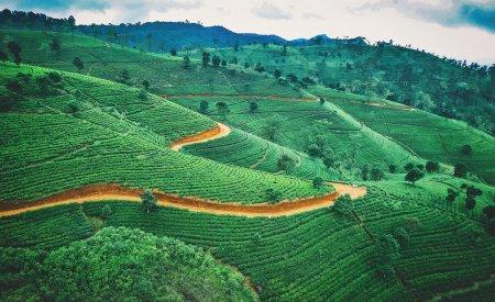 thé sri lanka plantations sri lanka ou bali