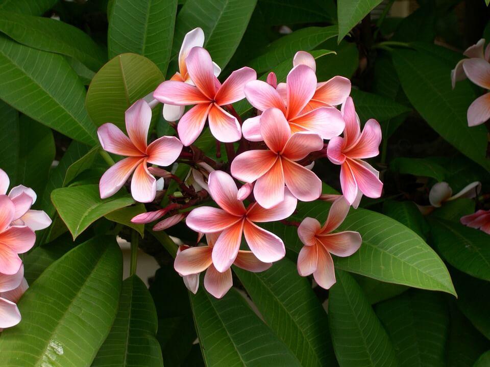 fleur de frangipanier flore que voir à la réunion