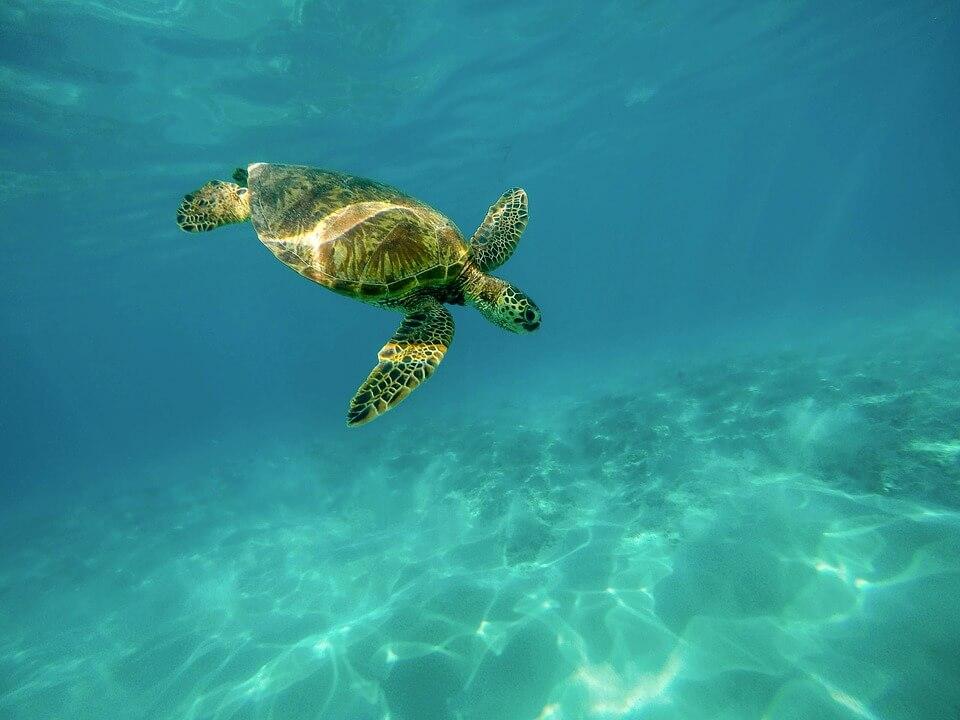 tortue de mer réserve cousteau en guadeloupe