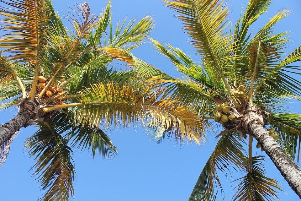 arbres cocotiers où partir en hiver