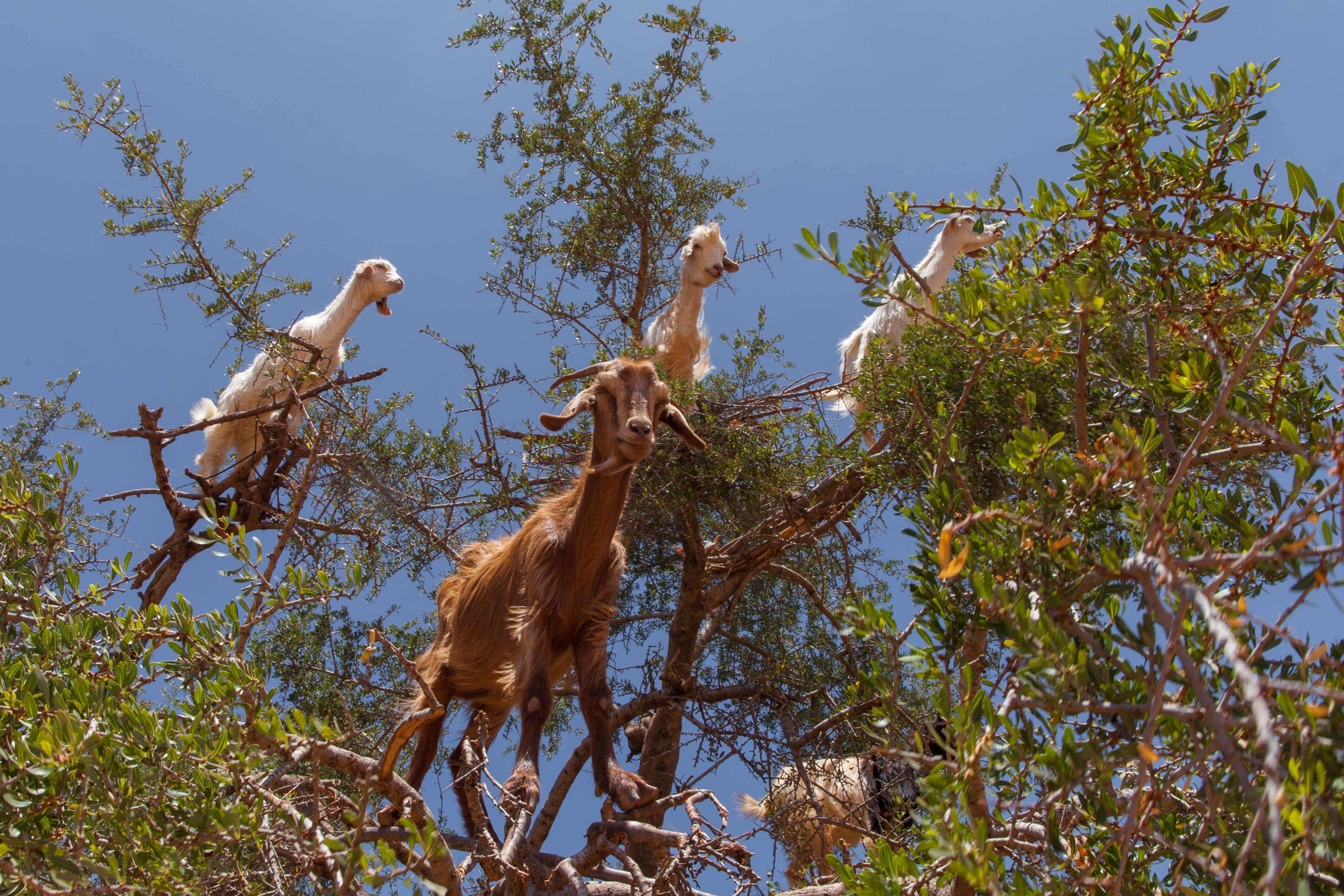Une escapade au cœur de la campagne marocaine vous fera rencontrer des scènes insolites comme ces chèvres perchées dans les arganiers.