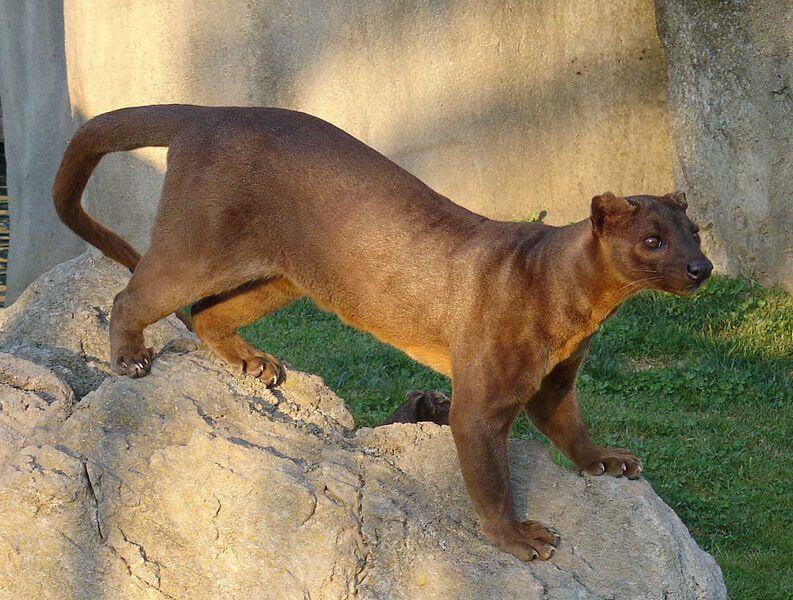 fossa animaux de Madagascar