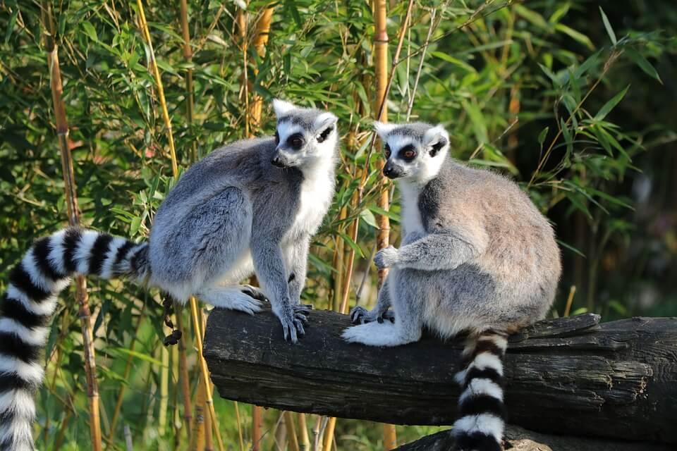 lemurien maki animaux de Madagascar