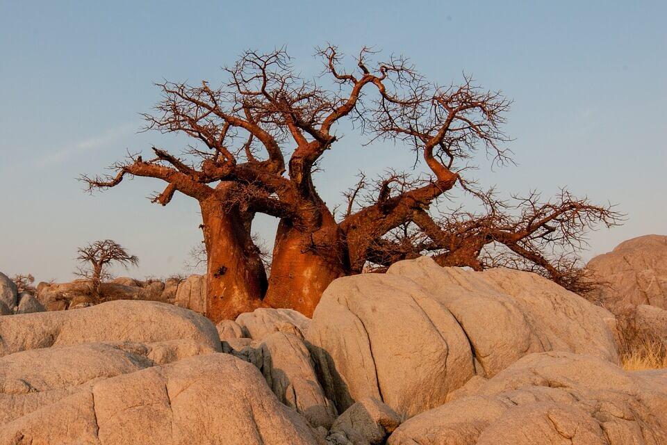 baobab botswana