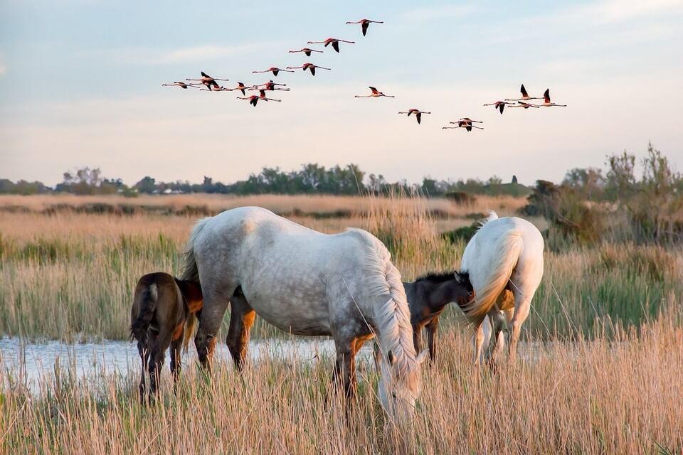 chevaux oiseaux camargue france où partir pour 500 euros par personne