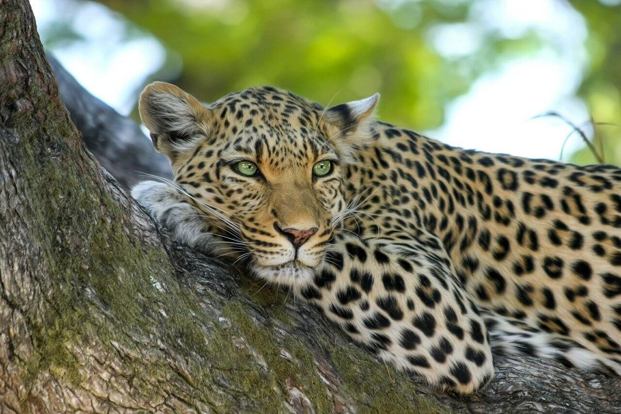 leopard safari au botswana