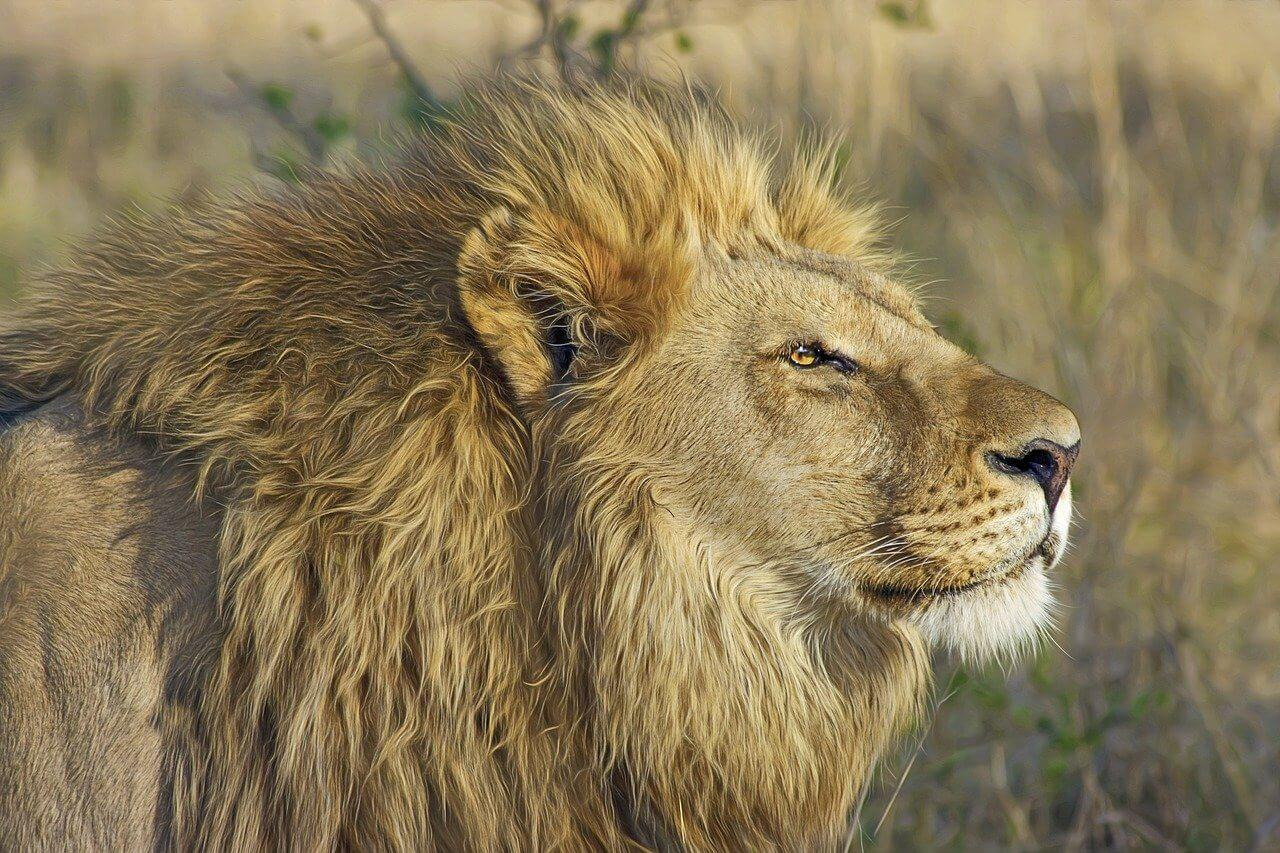 lion safari au botswana