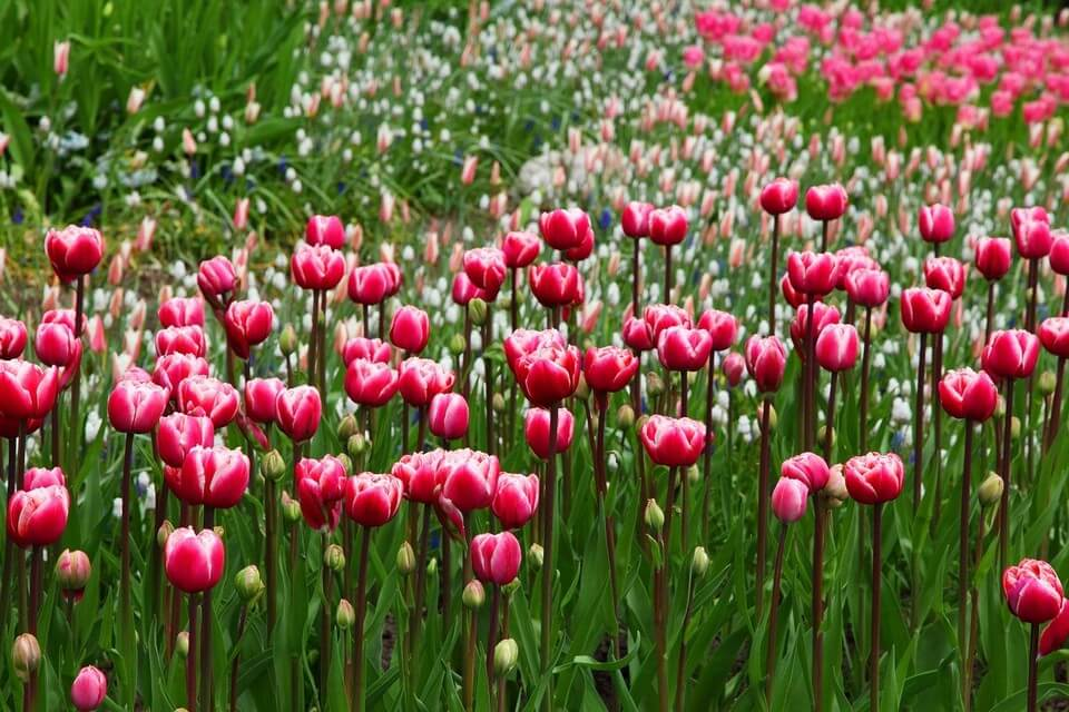 tulipes canada canada au printemps