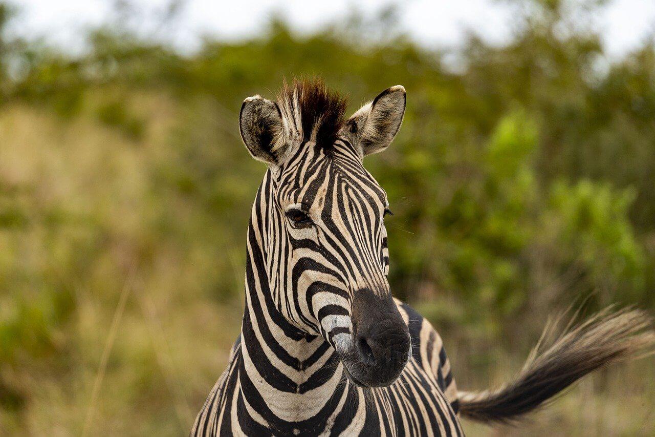 zebre safari au botswana