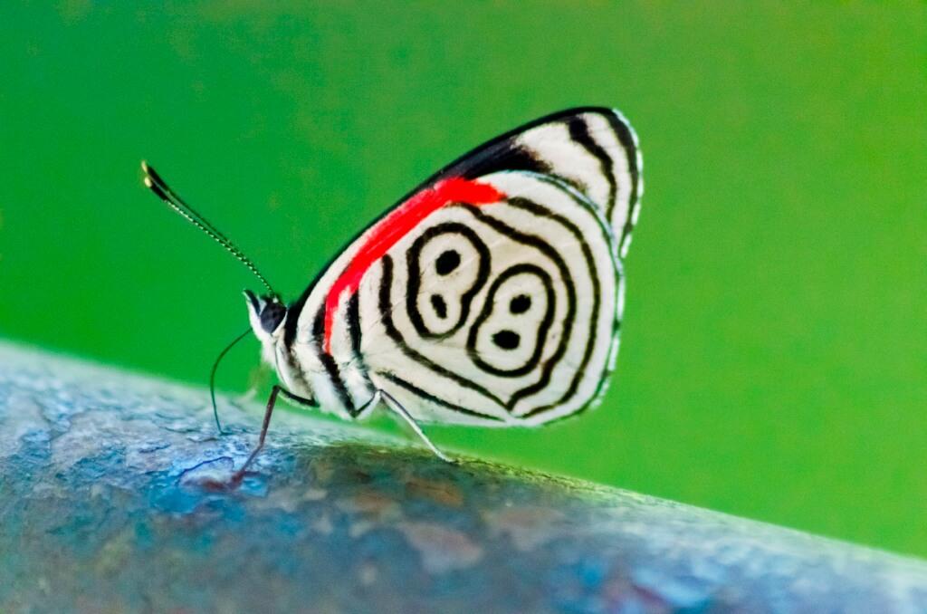 Le papillon 88, nommé ainsi à cause des dessins sur ses ailes qui ressemblent au chiffre 88 sont endémiques des chutes d'Iguazú.