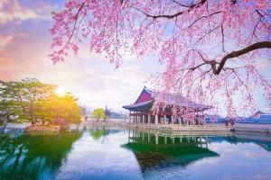 Corée du Sud : Palais de Gyeongbokgung (Séoul) avec les cerisiers en fleurs au printemps