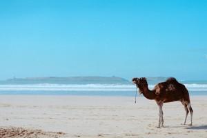 Essaouira : Camel