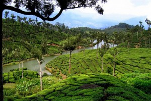 Kerala : Tea garden,Munnar,Kerala
