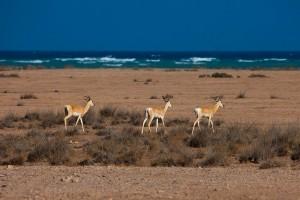 Obock : Springboks, Obock, Djibouti