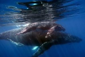 île Sainte-Marie : Les baleines à bosse à Sainte-Marie