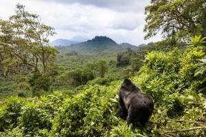 Rwanda : Un gorille dans le Parc national des volcans