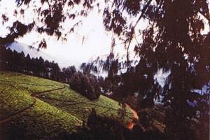 Rwegura : Tea Plantation, Rwegura, Burundi 1988b