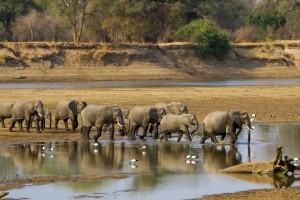 Zambie : Un troupeau d'éléphant traverse la rivière Luangwa