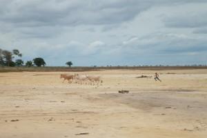 Ziguinchor : Cattle herding
