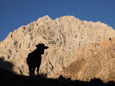 Tadjikistan : Vache tadjik matinale