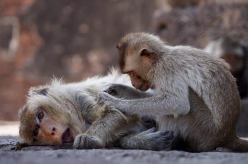 Temple des singes à Lopburi