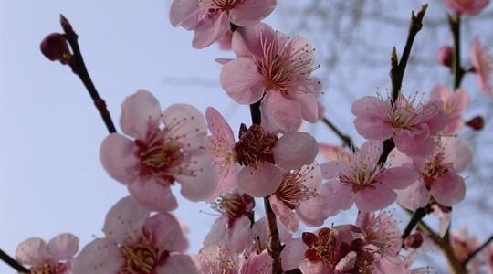 Où et quand aller voir les cerisiers en fleur au Japon : les spots incontournables et les endroits moins connus.