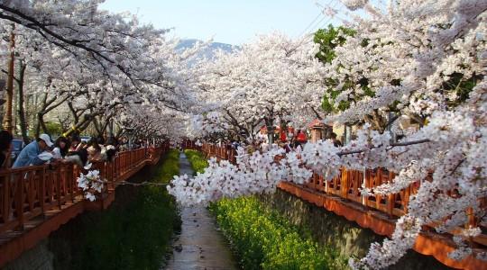 Où et Quand aller voir les cerisiers en fleur en Corée du Sud : les spots incontournables et les endroits moins connus